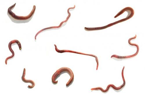 O relatório sobre um sujeito um organismo de parasitas